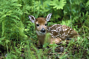White-tailed Deer (Odocoileus virginianus) fawn amid ferns, North America - Konrad Wothe