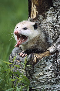 Virginia Opossum (Didelphis virginiana) female hissing from tree cavity, North America - Konrad Wothe