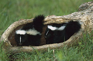 Striped Skunk (Mephitis mephitis) kit pair in a log, North America - Konrad Wothe