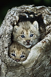 Canada Lynx (Lynx canadensis) kitten pair peering out from hollow log, North America  -  Konrad Wothe