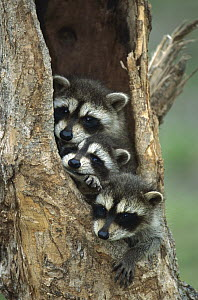 Raccoon (Procyon lotor) young peering out from hole in tree, North America - Konrad Wothe