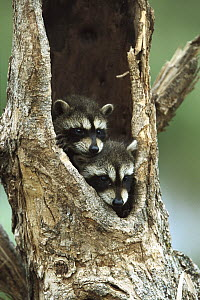 Raccoon (Procyon lotor) two babies peering out from hole in tree, North America - Konrad Wothe