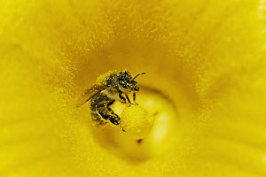 Honey Bee (Apis mellifera) covered in pollen in pumpkin, Germany - Konrad Wothe