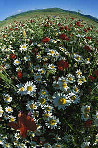 Chamomile (Anthemis arvensis) and Corn Poppy in flowering meadow, Italy - Konrad Wothe