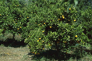 Sour Orange (Citrus aurantium) grove, Greece - Konrad Wothe