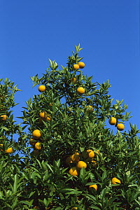 Sour Orange (Citrus aurantium) with ripe fruit, Greece - Konrad Wothe