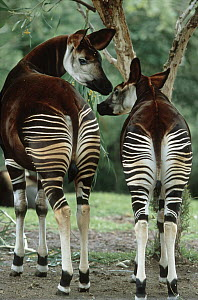 Okapi (Okapia johnstoni) parent with young, native to tropical forests of northern Congo  -  Konrad Wothe