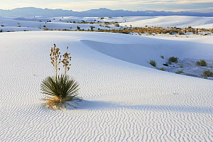 Soaptree Yucca (Yucca elata) growing in gypsum sand, White Sands National Park, New Mexico - Konrad Wothe