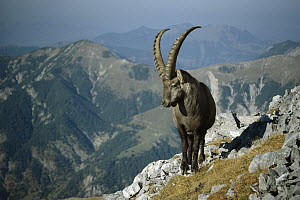 Alpine Ibex (Capra ibex) male with Swiss Alps in background, Europe  -  Konrad Wothe
