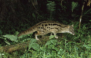 Striped Civet (Fossa fossana) foraging at night, vulnerable species, Madagascar  -  Konrad Wothe