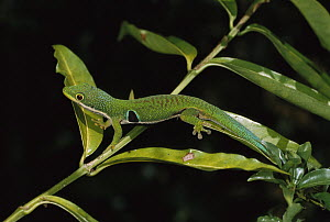 Four Spot Day Gecko (Phelsuma quadriocellata) on branch, Madagascar - Konrad Wothe