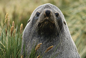 Antarctic Fur Seal (Arctocephalus gazella), South Georgia Island  -  Gerry Ellis