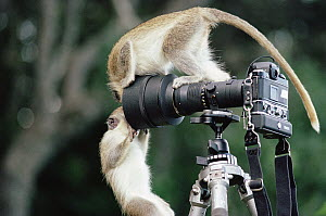 Black-faced Vervet Monkey (Cercopithecus aethiops) pair playing on camera and tripod, Barbados, Caribbean, native to East and southern Africa  -  Gerry Ellis