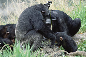 Chimpanzee (Pan troglodytes) teaching, young male to use fishing tool, Washington Park Zoo - Gerry Ellis