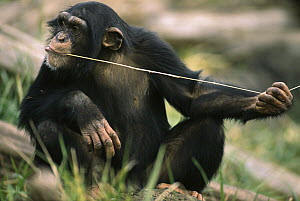 Chimpanzee (Pan troglodytes) uses fishing tool to catch insects, Washington Park Zoo, Washington - Gerry Ellis