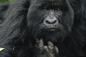Mountain Gorilla (Gorilla gorilla beringei) female showing finger lost to poacher's trap, Virunga Mountains, Democratic Republic of the Congo - Gerry Ellis