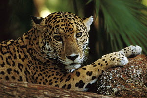 Jaguar (Panthera onca) close up with front paws on log, palm in background, Belize Zoo, Belize  -  Gerry Ellis