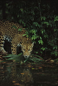 Jaguar (Panthera onca) by stream with reflection in rainforest, Belize Zoo, Belize  -  Gerry Ellis