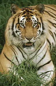 Bengal Tiger (Panthera tigris tigris) portrait, Hilo Zoo, Hawaii, native to India and southeast Asia - Gerry Ellis