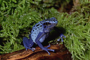 Blue Poison Dart Frog (Dendrobates azureus) secretes a fluid from its skin which is used by indigenous Indians to poison the tips of arrows, native to South America - Gerry Ellis
