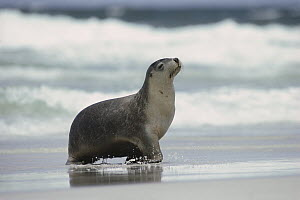 Australian Sea Lion (Neophoca cinerea) female coming ashore, Kangaroo Island, Australia - Gerry Ellis
