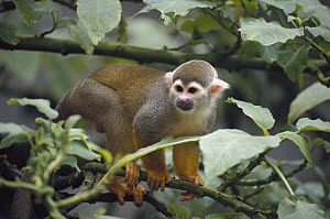 South American Squirrel Monkey (Saimiri sciureus), Monkey Island, Amazon Basin, Brazil  -  Gerry Ellis