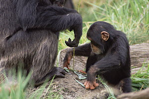 Chimpanzee (Pan troglodytes) teaching young male to use fishing tool, Washington Park Zoo - Gerry Ellis