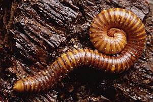 African Giant Black Millipede (Archispirostreptus gigas) coiled on log, Africa - Gerry Ellis