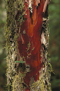 Pacific Yew (Taxus brevifolia) tree bark that is harvested for medicinal use, North America - Gerry Ellis