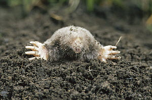 Eastern Mole (Scalopus aquaticus) emerging from underground burrow, North America  -  Gerry Ellis