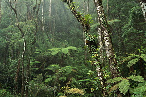 Montane rainforest interior at 7,000 feet elevation, Mt Kinabalu, Mt Kinabalu National Park, Borneo - Gerry Ellis