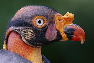 King Vulture (Sarcoramphus papa), native to southern Mexico to Argentina and Brazil  -  Gerry Ellis
