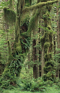 Temperate rainforest with moss covered trees and ferns, Queets River Valley, Olympic National Park, Washington  -  Gerry Ellis