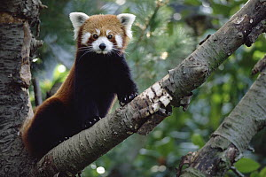 Lesser Panda (Ailurus fulgens) sitting on tree limb, China, Nepal, Burma - Gerry Ellis