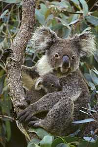 Koala (Phascolarctos cinereus) mother and joey, three month old, Australia  -  Gerry Ellis