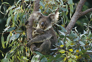 Koala (Phascolarctos cinereus) mother and three month old joey in tree, Australia - Gerry Ellis