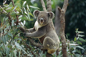 Koala (Phascolarctos cinereus) male in tree, Australia  -  Gerry Ellis
