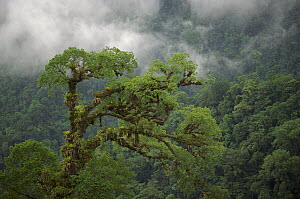 Crown of emergent rainforest tree covered in epiphytes in montane tropical rainforest, Braulio Carrillo National Park, Costa Rica  -  Gerry Ellis