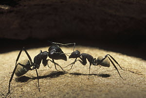 Ant (Formicidae) pair communicating, Karoo National Park, western South Africa  -  Gerry Ellis