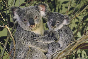 Koala (Phascolarctos cinereus) mother with joey, eastern temperate Australia - Gerry Ellis