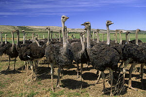 Ostrich (Struthio camelus) females in large commercial farm, near Kruldfontein, western South Africa - Gerry Ellis