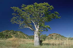 Australian Baobab (Adansonia gregorii) tree growing on grasslands, Western Australia  -  Gerry Ellis