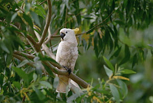 Sulphur-crested Cockatoo (Cacatua galerita) perching on branch, New Guinea  -  Gerry Ellis