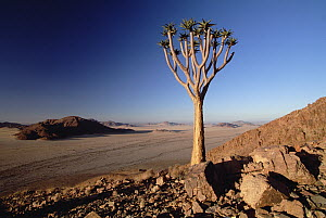 Quiver Tree (Aloe dichotoma) at dawn, Namib-Naukluft National Park, Namibia - Gerry Ellis