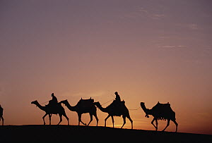 Modern Egyptians riding domesticated camels across desert near the pyramids of Giza at sunset, Cairo, Egypt - Gerry Ellis