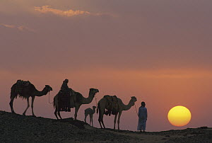 Dromedary (Camelus dromedarius) trio with Bedouins at sunset, Oasis Dakhia, Great Sand Sea, Sahara Desert, Egypt - Gerry Ellis