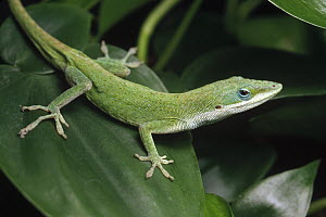 Green Anole (Anolis carolinensis) on leaf, native to southeast USA and the Caribbean  -  Gerry Ellis