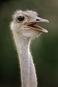 Ostrich (Struthio camelus), east Africa - Gerry Ellis