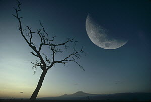 Whistling Thorn (Acacia drepanolobium) and moon, Amboseli National Park, Kenya - Gerry Ellis