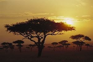 Umbrella Thorn (Acacia tortilis) trees at sunrise on savannah, Masai Mara, Kenya - Gerry Ellis